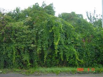 Parthenocissus quinquefolia 2m
